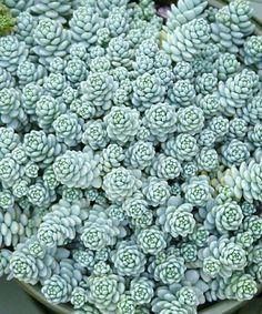 Sedum dasyphyllum major - Fique a conhecer as nossas dicas de jardinagem em: www.asenhoradomonte.com