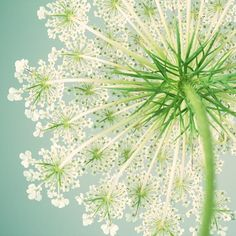 Queen Anne's Lace Art Print Flower by RockyTopPrintShop on Etsy