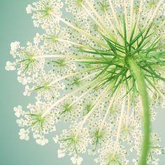 Queen Anne's Lace Art Print, Flower Photography, Sage, Green, Teal, Summer, Flower Wall Art, Fine Art Print, 5x5 8x8 10x10 12x12 or 16x16