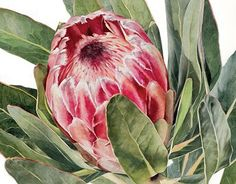 Protea in Watercolour Botanical Wall Art, Botanical Drawings, Botanical Flowers, Botanical Prints, Protea Art, Protea Flower, Watercolor Pattern, Watercolor Flowers, Watercolor Art