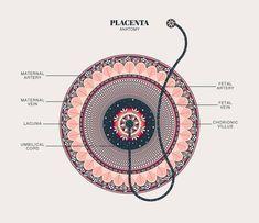 Home - Designs by Duvet Days Art & Anatomy Illustrations Pregnancy Art, Pregnancy Shirts, Pregnancy Quotes, Pregnancy Stages, Pregnancy Workout, Student Midwife, Birth Art, Duvet Day, Pseudo Science