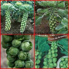 150 sementes de couve  bruxelas  horta em casa promoçao