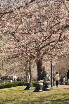 Photos of the celebration of the Sakura flowers in Yokohama (ça change des pommiers en fleurs !)