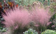 Pink muhly grass, i just bought some of this. nice.