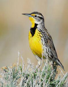 Nebraska state bird:  Western Meadowlark