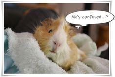 Guinea pig, TWIX's Blog: