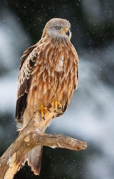 Красный коршун. Red Kite (Milvus milvus). Средних размеров хищная птица семейства ястребиных длиной 61-72 см, размахом крыльев 175—200 см.