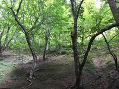 生杉ブナ原生林 もともと安曇川流域はブナなどの広葉樹帯であった。 現在は杉林ばかりが目立つが、安曇川最大の支流針畑川の最源流部の生杉(おいずぎ)地区には、ブナの原生林が残っている。  芽吹きの頃、ブナの森は神々しいオーラを放つ。 この感じを味わいたくて、よく新緑の針畑川源流を訪ねた。  今回訪れたのは盛夏であったが、ブナの森には涼しい空気が満ち溢れていた。