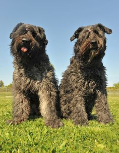 "A Bouvier des Flandres named Lucky was the ""first dog"" of Ronald Reagan. More about the Bouvier on the Healthy Dog Blog! #bouvier #bouvierdesflandres"