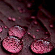 water drops on burgundy