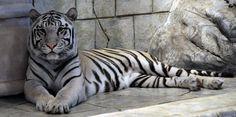 Snow Tiger Habitat   Description White Tiger.png