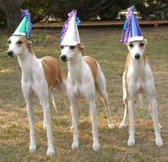 Whippets wearing  party hats