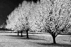 B&W trees.