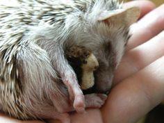 Oh my goodness - a baby hedgehog with a baby stuffed hedgehog!