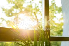 Green plant against window royalty-free stock photo
