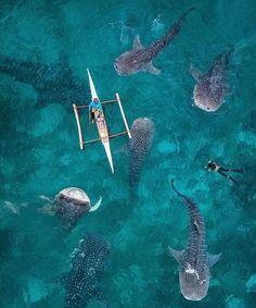 Swimming with whale sharks in Oslob, Cebu island. : @karanikolov #oceanfilmtour #oceanlovers
