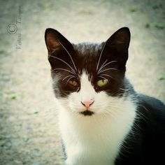 Black and White Cat Photography Fine Art Print. by OurHealingArt, $5.20
