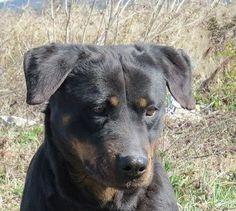 LOUNA   Type : Rottweiler Sexe : Femelle Age : Adulte Couleur : Noir  Taille : Moyen Lieu : Var - 83 (Provence-Alpes-Côte d'Azur)  Refuge :  Sans Collier Provence(Var) Tél : 06 19 57 21 81     LOUNA Femelle Rottweiler, née 25/4/2011.
