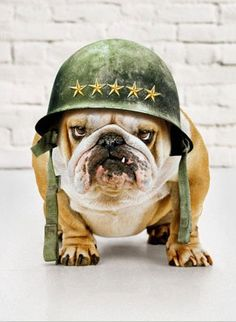 #military #veterans Veteran's Day - Bulldog in an Army Helmet - @ www.HireAVeteran.com