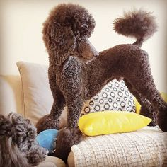 A pony cut poodle. Very cute. A friend's little boy always asks to visit Fiona's ponies. I never knew.....