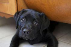 Gorgeous Black Labrador Puppy
