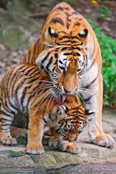 Tigress Licking Her Cub.