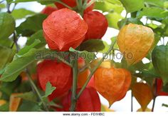 Image result for chinese lantern plant