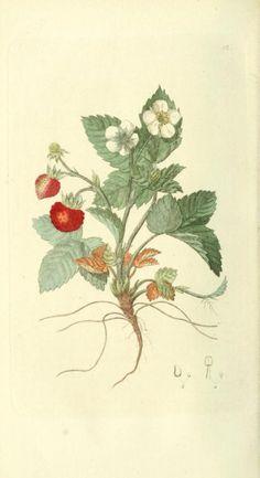 Fragaria vesca (Alpine Strawberry). Illustration taken from...