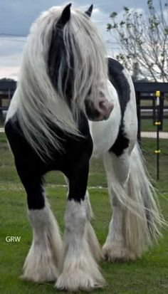 Gypsy Vanner Stallion named 'Sir Ivanhow of England'