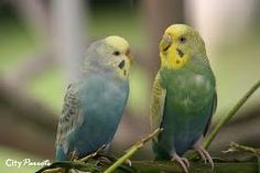 Image result for yellow faced violet budgie