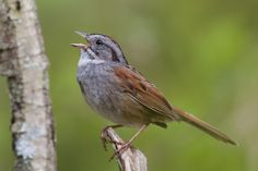 The American swamp sparrow's amazing ability to pass down its song perfectly is an example of handing down a cultural tradition, scientists say.