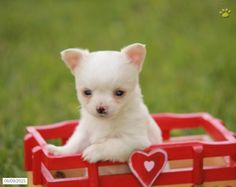 Chihuahua Puppy for Sale in Pennsylvania