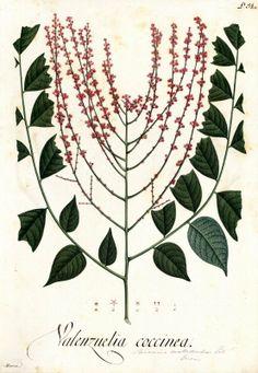 Valenzuelia coccinea. Proyecto de digitalización de los dibujos de la Real Expedición Botánica del Nuevo Reino de Granada (1783-1816), dirigida por José Celestino Mutis: www.rjb.csic.es/icones/mutis. Real Jardín Botánico-CSIC.