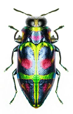 Two endemic Jamaican jewel beetles: one known, one not?