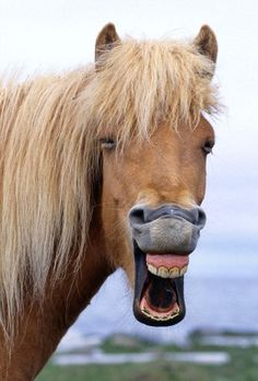 An Icelandic Horse laughing. Laughing... he's yawning, It's too early for pictures.