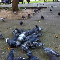 Pigeons at Soho Square