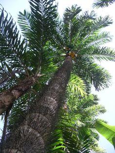 A list of seven of the hardest trees to climb. Sandbox tree, Pejibaye Palm and the Honey Locust are all on the list Rainbow Eucalyptus Tree, Sequoia Sempervirens, Dracaena Plant, Honey Locust, Dragon Tree, Large Flower Pots, Baobab Tree, Unusual Plants, Jolie Photo