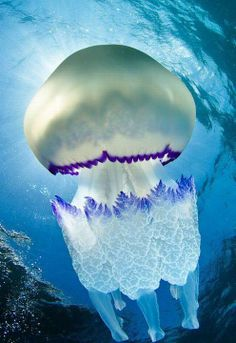 Gorgeous Lacy Blue Jellyfish