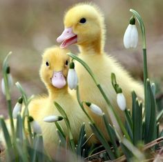 Baby ducks and first flowers of spring..