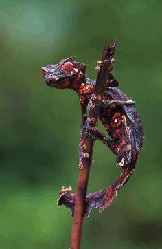 Scary!  Satanic Leaf-Tailed Gecko (Uropatus Fantasticus)...