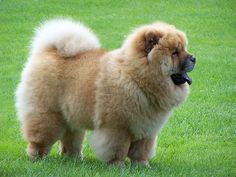 """The breed has also been called the Tang Quan, """"Dog of the Tang Empire.""""   #chowchowdogs"""