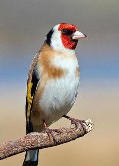 European Goldfinch by M S