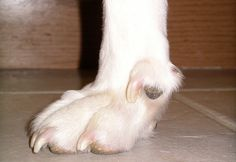 Should You Or Should You Not Remove Dog Dew Claws?