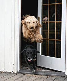 "Boing!!! It's time to go outside and play now!! ""Everytime I let Buddy and Luke outside, Luke always jumps over Buddy. I barely get the door open enough before they are both out the door. I had Nathan hold them off while I went outside to wait outside to catch this moment."" by Caity Bird Photography"