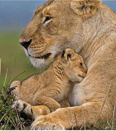 """beautiful-wildlife: """" Shelter by © wildmanrouse A young lion cub snuggles into the safety of a watchful mothers chest. The Animals, Nature Animals, Cute Baby Animals, Funny Animals, Wildlife Nature, Wild Animals, Nature Nature, Mother Nature, Big Cats"""