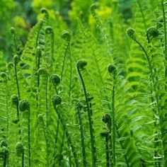 fern, saw some of these just starting to come out while walking in the woods. Photographie Macro Nature, Types Of Ferns, Woodland Garden, Belleza Natural, Shade Garden, Dream Garden, Horticulture, Shades Of Green, Garden Inspiration
