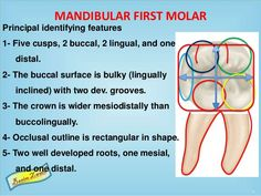 Dental anatomy of mandibular molars Dental Anatomy, Tooth Chart, Dentistry, Teeth, Surface, Reading, Tooth, Dental
