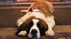 The Ritz-Carlton, Bachelor Gulch, Beaver Creek, CO Corgi Dog, Dog Cat, Log Cabin Resort, Z Trip, Animals And Pets, Cute Animals, Pet Friendly Hotels, Ski Vacation, Beaver Creek