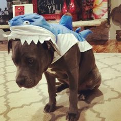 He HATES his costume! Haha... could be that the large is already too small:/ #pitbull #pitlove #dogcostume #shark #Blu #sosad #halloween #happyhalloween #trickortreat #instagood #meanmommy