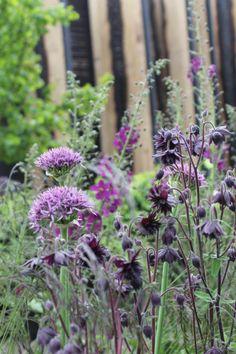 Aquilegia Barlow and Allium